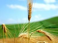 Se o grão de trigo não morrer ?