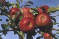Levitas de verdade dão frutos