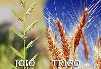 Quem é você? Joio ou trigo?